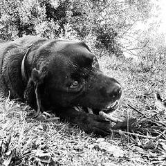 Sofia arggggghhh :D ♥♥♥ #instlike_com #gifts... (richardjoyfulsunset) Tags: blackandwhite dog pet black cute dogs nature animal puppy puppies labrador adorable cutie loveit gifts doggy pup dogoftheday labradorretriver ilovemydog petsagram petstagram 20likes dogstagram dogsofinstagram noirlovers instagramdogs picpets uploaded:by=flickstagram instlikecom funpetlove instagram:photo=560890290219881864195730356