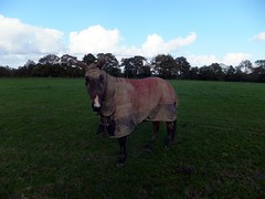 Horse in Disguise (paidetres) Tags: horse walk surrey covered rainwear threelegs disguised chelsham