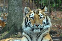 tiger (greenelent) Tags: nyc animal cat zoo tiger bigcat photoaday bronxzoo 365 natue