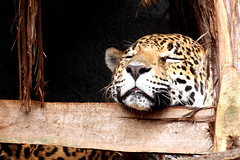 Cat Nap - Houston Zoo (jan buchholtz) Tags: sleeping portrait animal closeup cat mammal feline nap catnap bigcat napping jaguar asleep carnivore houstonzoo panthera chinrest janbuchholtz