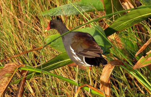 Common Gallinule or Moorhen