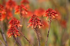 Flowers (Life of David) Tags: california arboretum santaanita