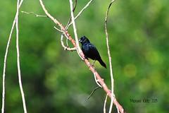 Blue-black Grassquit 2 - Blue Creek, TO, Belize (Michael Klotz - The Bird Blogger.com) Tags: bird michael belize birding finch toledo birdwatching klotz bluecreekvillage blueblackgrassquit volatiniajacarina michaelklotz thebirdbloggercom