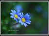 IMGP2692b (landscape artist828) Tags: blue flower macro zeiss pentax bokeh awesome blossoms bestcapturesaoi mygearandme mygearandmepremium mygearandmebronze