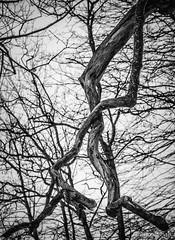 Crossing Branches (salvi.nicola) Tags: white black texture nature crossing unitedstates massachusetts branches portfolio shape brookline