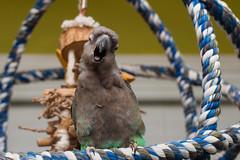 51:365 - *yawn* (nathascha) Tags: pentax parrot pixel redbelly af360fgz poicephalus redbelliedparrot pentaxfa50mmf14 nathascha k5ii 365parrotsx2