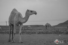 Thumamah Camels (Flsimages) Tags: beautiful animal photography sand fuji desert kingdom camel saudi arabia fujifilm camels saudiarabia hump bedouin ksa xe1 thumamah