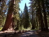 Columbia Tree, Mariposa Grove - Yosemite National Park, California (Andrea Moscato) Tags: wood usa tree green alberi america giant us ancient unitedstates sequoia legno bosco statiuniti wawona giganti flickrsfinestimages1 andreamoscato