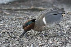 Green-winged Teal (featherweight2009) Tags: birds vancouver britishcolumbia ducks stanleypark waterfowl lostlagoon teals greenwingedteal anascrecca dabblingducks