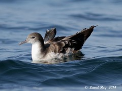 1.01723 Puffin fouquet / Puffinus pacificus / Wedge-tailed Shearwater (Laval Roy off until 07/08/2019) Tags: mexique aves oiseaux birds canon puffinfouquet puffinuspacificus wedgetailedshearwater eos7d ef300mm14lisextender14xiii lavalroy procellariiformes procellariidés