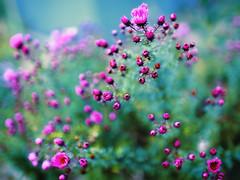 From September (10) (Vlachbild) Tags: flowers nature natur environment aster naturephotography novaeangliae outdoorphotography sonyslta99 sonysal35f14gf1435mm