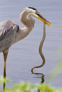 The Great Blue Heron & The Banded Water Snake