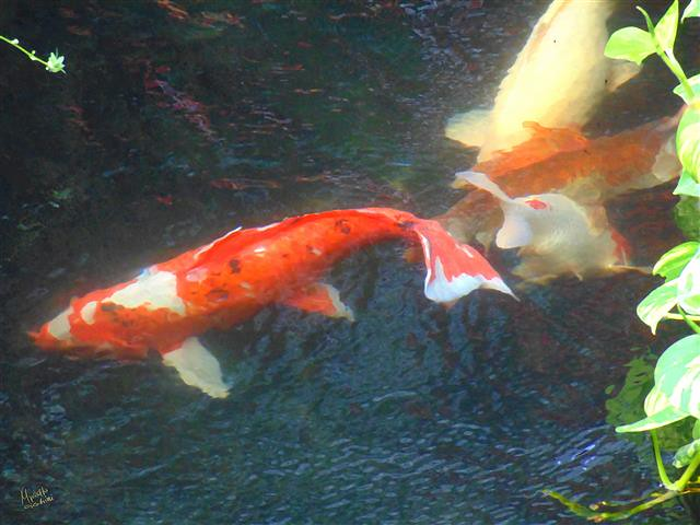 The world 39 s best photos of koi and koy flickr hive mind for Japanese pond ornaments
