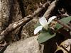 Snow Trillium (Jonathan T Bauer) Tags: snow trillium indiana bloomington thenatureconservancy cedarbluffs nivale