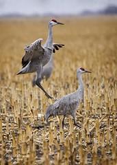 Leaper (Gordilly) Tags: bird nature nebraska crane wildlife sandhillcrane grus gruscanadensis buffalocounty gruidae sigma120400mmf4556apodgos t1022221
