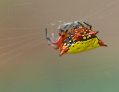 Yellow Spiny Orb-weaver (gasteracantha cancriformis) (celerycelery) Tags: macro nature animal bug insect critter wildlife insects critters arthropod othercritters