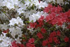 (Michael.GB) Tags: park flowers plants colour gardens spring nikon windsor d200 dlsr 2013 18200vr 7020028vr