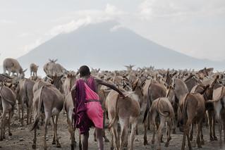 The Mules of Ol Doinyo Lengai