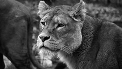 Deadly look. (nyanc) Tags: deadlylook pantheraleo africanlioness lioness onherguard alert deadly look lion leeuw leeuwin afrikaanseleeuw animal animalia bw blackandwhite blackwhite close d5200 dier dierenpark europe europa enormous eye eyes kerkrade flickr female girl gaiazoo gaia gaiapark jager hunter carnivore carnivoor limburg lente large monochrome nikon netherlands nature nederland natuur animals outdoor outside portrait park portret predator roofdier travel dangerous wild white zwartwit zoo thegalaxy tmi national nationalgeographic