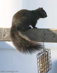 IMG_0223aZ (astrorock999) Tags: squirrel écureuil nature