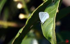 Un argus à nouveau coté ! (mamnic47 - Over 7 millions views.Thks!) Tags: vincennes papillon 23032017 sigma150600mm img3889 mâle argusbleu polyommatusicarusazurécommun azurédelabugrane