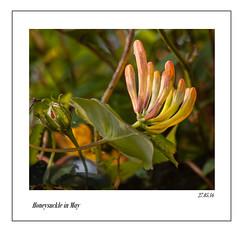 honeysuckle in May (vallgall) Tags: honeysuckle ourgarden may maydayartstrail