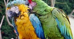 """Der Papagei. Die Papageien. Genauer: Der Ara. Die Aras. Aras sind sehr große und bunte Vögel. Sie können sehr alt werden. • <a style=""""font-size:0.8em;"""" href=""""http://www.flickr.com/photos/42554185@N00/32874182431/"""" target=""""_blank"""">View on Flickr</a>"""