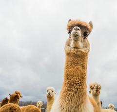 medina-7691 (FarFlungTravels) Tags: alpaca animal farm medinacounty onefineday shear wool