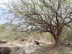 Ingá, PB. (Pedro Valadares) Tags: ingá paraíba brasil brazil semiárido árvore tree pedras rochas stones rocks