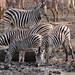 Plains Zebras (Equus quagga burchellii) and Warthogs at waterhole ...