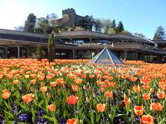 Castle on the hill (#RK) Tags: castle behind flowers tulips tulip spring summer sunny orange purple flower badenweiler germany deutschland nikon l830 light rk pyramid glas town hall blumen