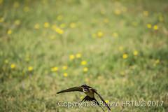 "Barn swallow / Hirundo rustica (I'll catch up with you later...) Tags: rertug nikond610fx nikkor200500mmf56eafse pelitkoy barnswallow ""nikonflickraward"""