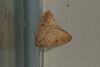 Theria primaria (dhobern) Tags: ennominae lepidoptera theria primaria geometridae wadern germany europe february 2017