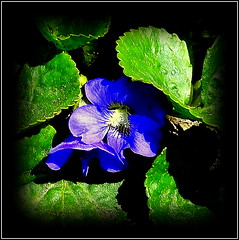Natural Wonder (dimaruss34) Tags: newyork brooklyn dmitriyfomenko image flower violet