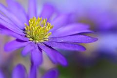 Der lila Frühling (Fotos4RR) Tags: blume flower plant pflanze frühlingsblume springflower frühling spring lila violet windröschen balkanwindröschen balkananemone grecianwindflower