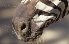 ZOO0169-2 (Akira Uchiyama) Tags: 動物たちのいろいろ 鼻 鼻シマウマ
