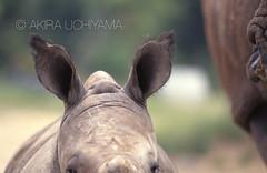 ZOO0106 (Akira Uchiyama) Tags: 動物たちのいろいろ 耳 耳シロサイ幼獣
