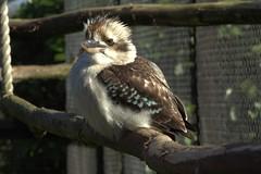 Kookaburra (MrAlbionMan) Tags: kookaburra bird wildlife nature zoo