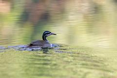 Heliornis fulica (Jorge De Silva R) Tags: heliornis fulica pajaro cantil aves de chiapas birds montes azules