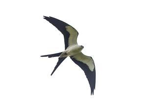 Swallowed Tail Kite