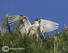 Landing (raineys) Tags: blackcrownednightheron bird nature wildlife california specanimal avianexcellence