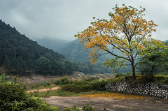 Rainy day (=Heo Ngốc=) Tags: rain trees yellow flower fall atmosphere moutains hamlonmoutain fog forest camp nex 3n kit