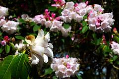 Camellia (Andrew Gustar) Tags: westonbirt arboretum camellia cherry blossom
