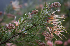 Grevillea rosmarinifolia 'Desert Flame' (MGormanPhotography) Tags: grevillea rosmarinifolia desertflame proteaceae evergreen shrub tree rosemarygrevillea green rosemary foliage pink peach bloom flower