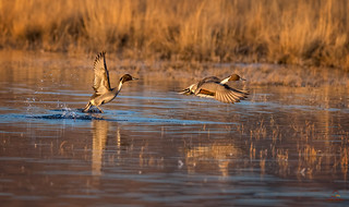 Pintail Drakes Lift-off, Golden Hour