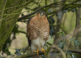 Sparrow Hawk (Male) - The eye's have it!