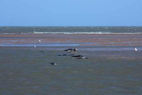 NEA1-23 Seals in the Shallows, Ythan Estuary Mouth