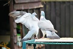 21 April 2017 (24) (AJ Yakstrangler) Tags: yakstrangler pigeon pigeons
