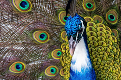 Peacock Headshot (Alfred Grupstra) Tags: peacock portrait tail annapaulowna noordholland nederland nl bird feather animal multicolored wildlife nature maleanimal blue beak elegance greencolor closeup colors animalhead colorimage vibrantcolor zoo pattern
