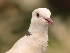 Dove (dennisgg2002) Tags: bronx zoo new york city ny nyc